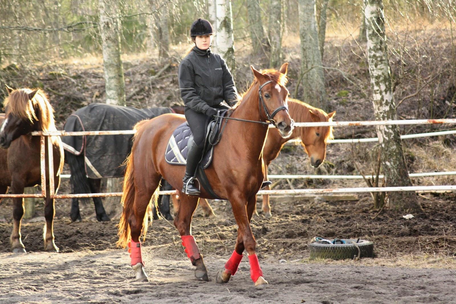 Hevosen Niveltulehdus