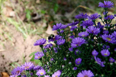 August through Autumn are aster time
