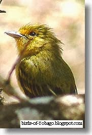 Yellow-brested Flycatcher (Tolmomyias flaviventris) tropical birds