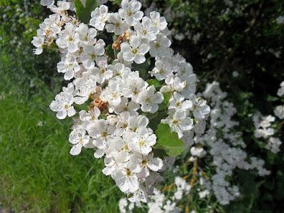 hawthorn-flower-blossom-white