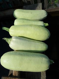Кабачки сорта Белоплодные