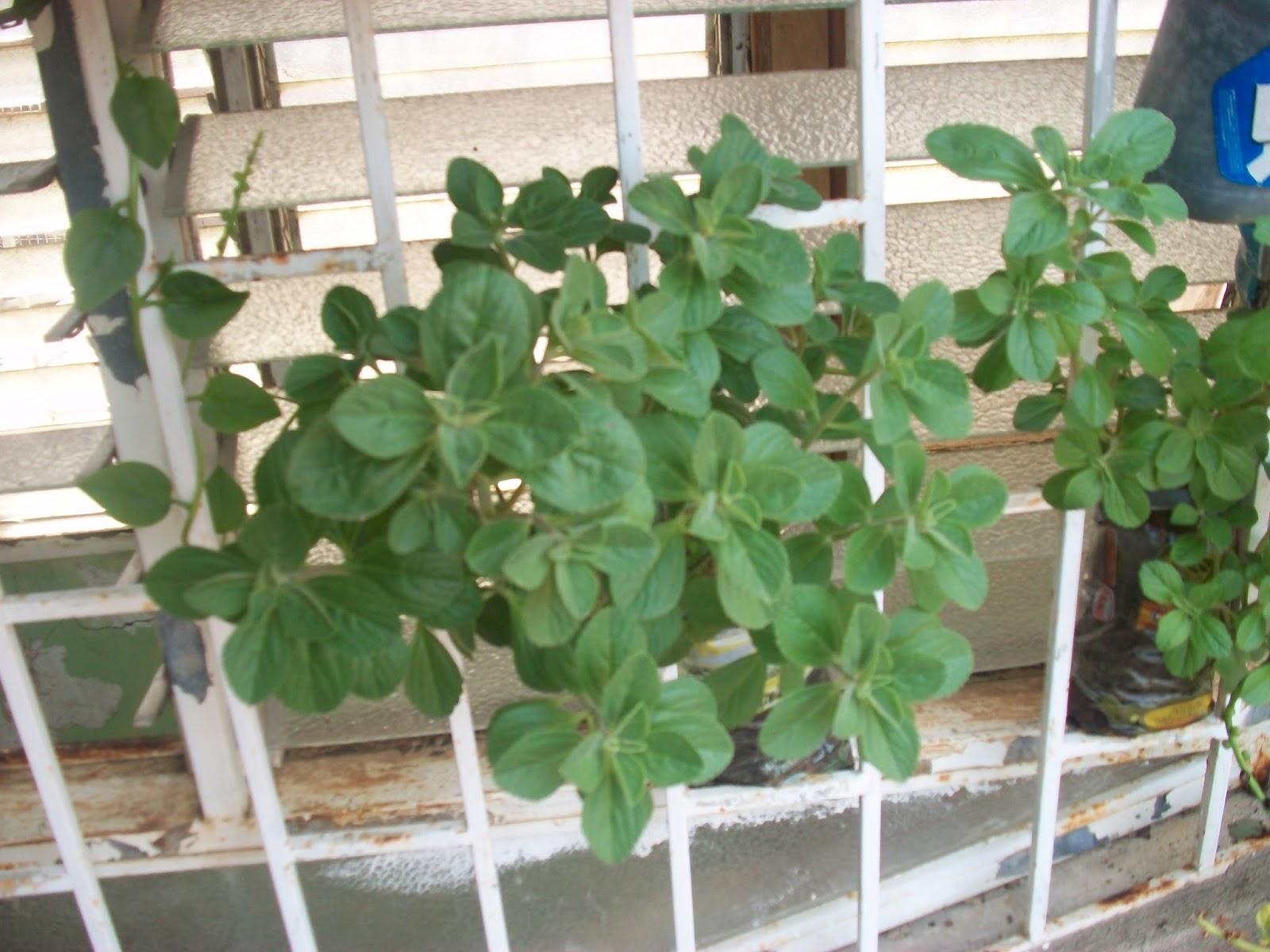 Definicion de la planta alcanfor