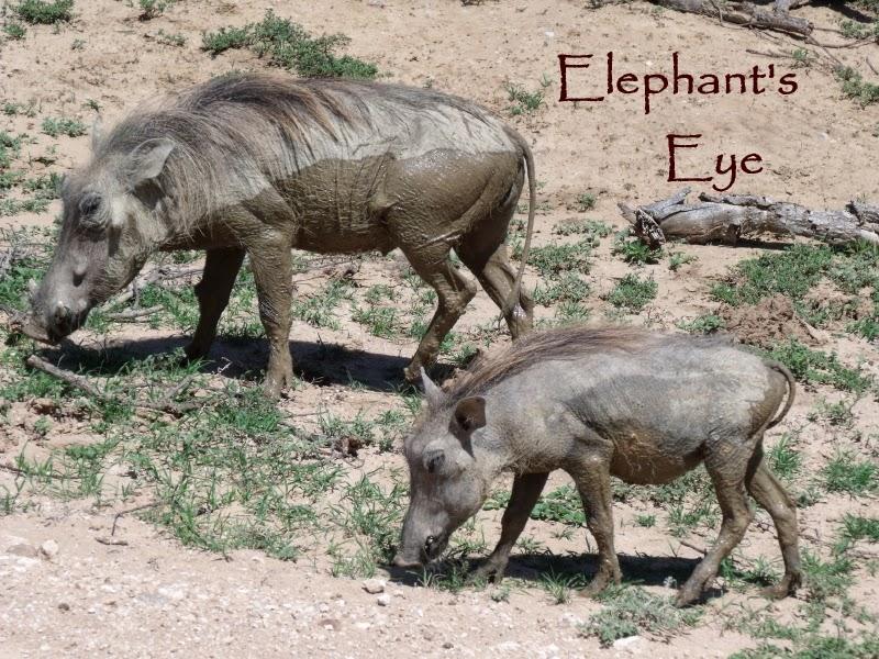 Addo warthogs