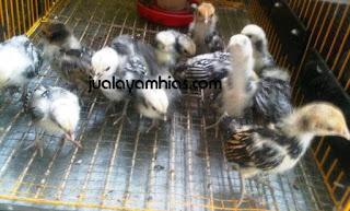 Ayam Batik Itali Usia 1 Bulan