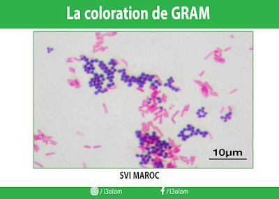 La coloration de GRAM