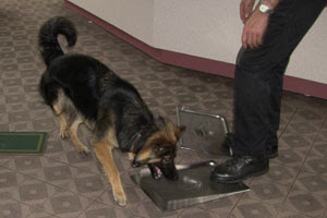 Megan the German Shepherd examining the metal lid