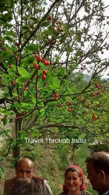 Cherries on the tree in Narkanda, Shimla