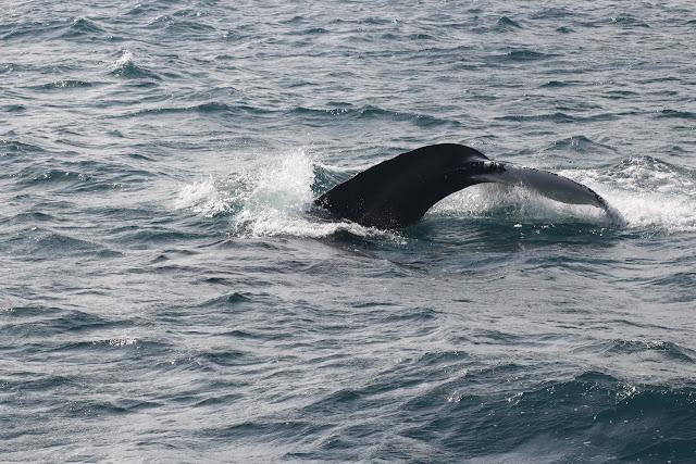 לוויתן HUMPBACK