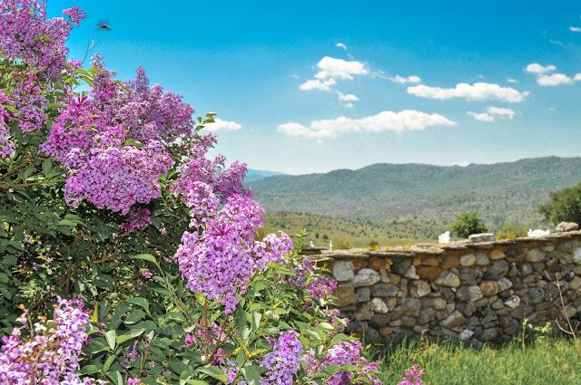 Lilac or Common Lilac - Syringa vulgaris in village Dunje, Mariovo, Macedonia