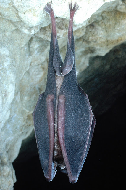 Greater Horseshoe Bat - Photo copyright Phil Richardson (All Rights Reserved)