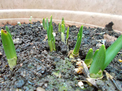 Daffodils emerging Garden Look to the future #mygardenrightnow Green Fingered Blog