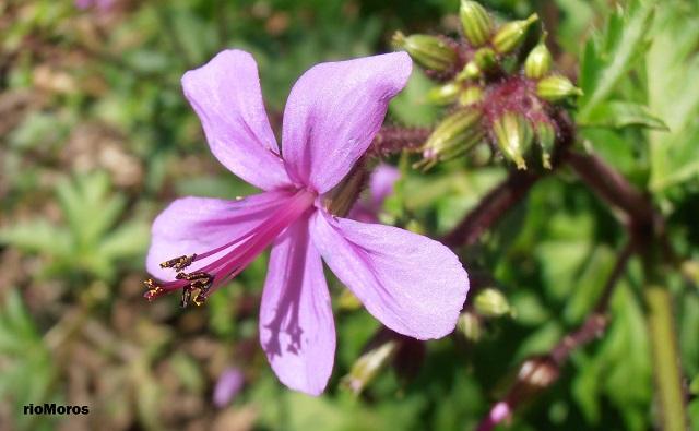 Flor de Pata de Gallo Geranium reuteri
