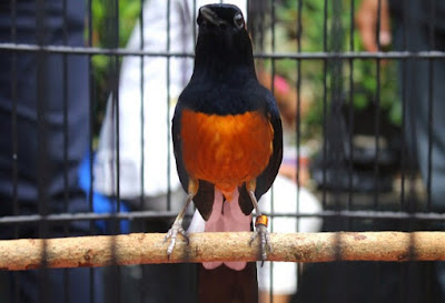 Mengetahui Katuranggan Pada Burung Murai Batu Yang Bagus Dari Segi Fisik Paling Akurat