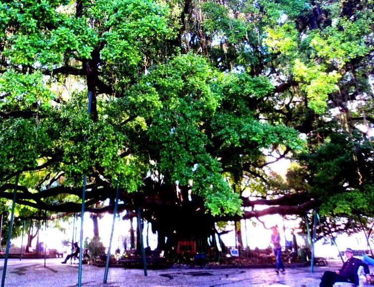 A figueira da Praça XV de Novembro, localizada no centro de Florianópolis