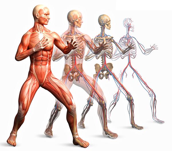 Conoce Tu Cuerpo Científicamente : Sistema Músculoesquelético