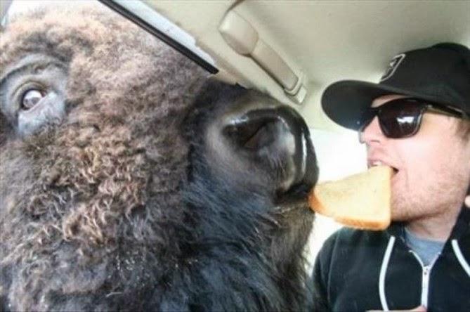 Bufalo o bisonte compartiendo comida con un humano