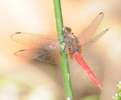 Orthetrum chrysis