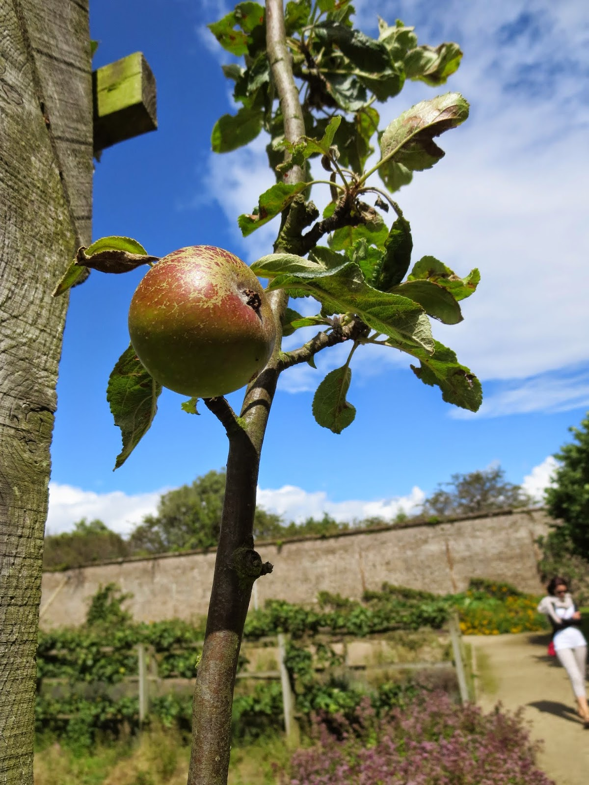 Apple plants in the walled garden in Marlay Park