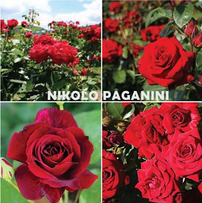 Crvena mnogocvjetnica, floribunda Nikolo Paganini