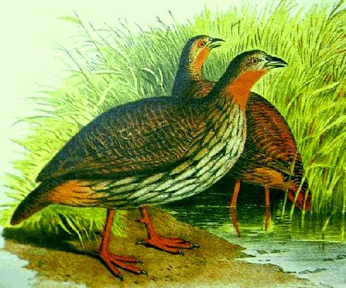 Indian birds - Swamp francolin - Francolinus gularis