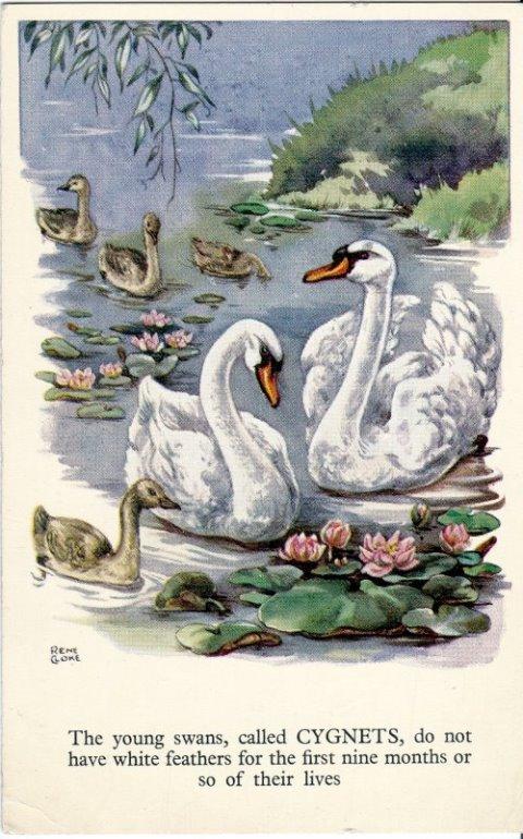Rene Cloke Postcard Swan