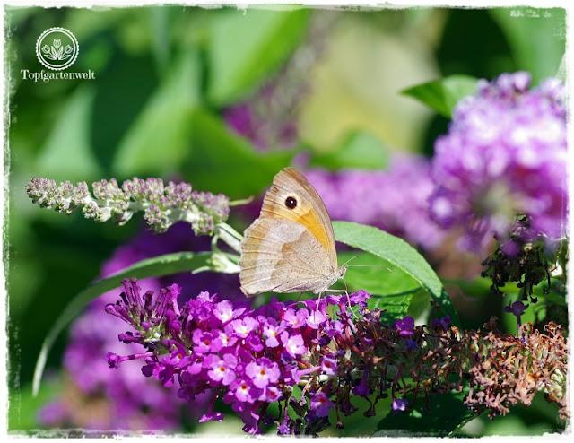 Gartenblog Topfgartenwelt Buchrezension: Knallbunte Beete, Schmetterling auf Sommerflieder