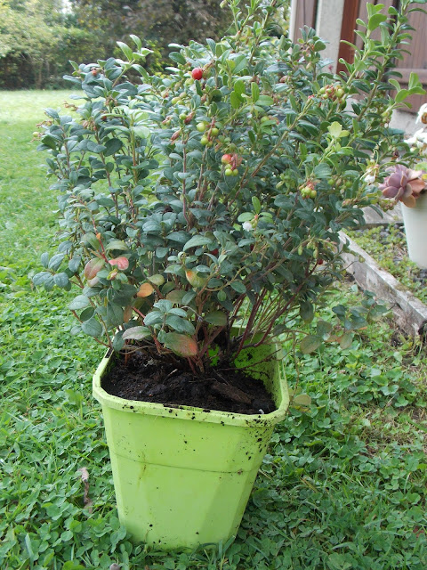 Plantation d'un pied d'Airelle rouge Miss Cherry Globe Planter