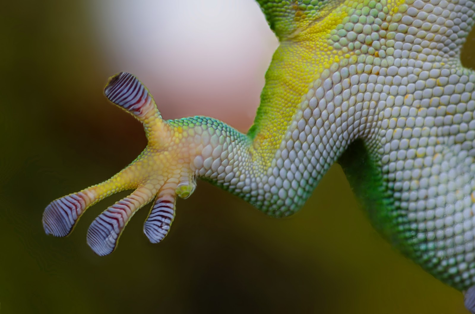 Up close photo of geckos sticky feet.