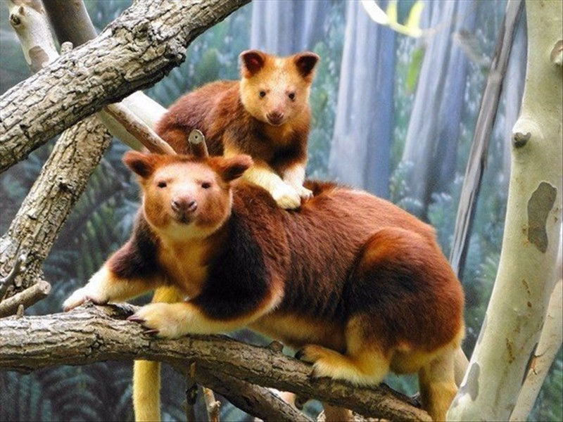 Tree kangaroo Wallaby