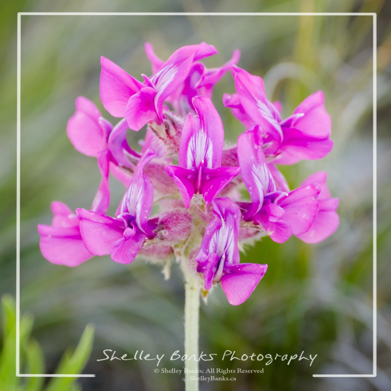 Prairie Wildflowers Besseys Locoweed Low Growing With Bright Pink
