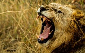 Wallpaper: Lion King in Wild Africa