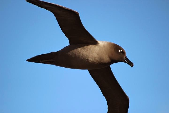 albatros oscuro chico Phoebetria palpebrata