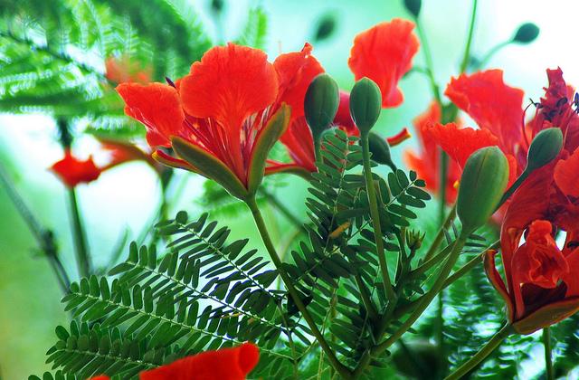 wallpaper quotkrishnachura gulmoharquot natural beauty of