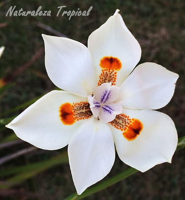 Flor solitaria, Dietes bicolor