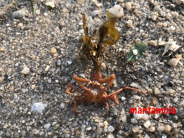 Seaweed Spider Crab