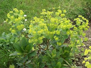 Euphorbe de Robbs - Euphorbia robbiae