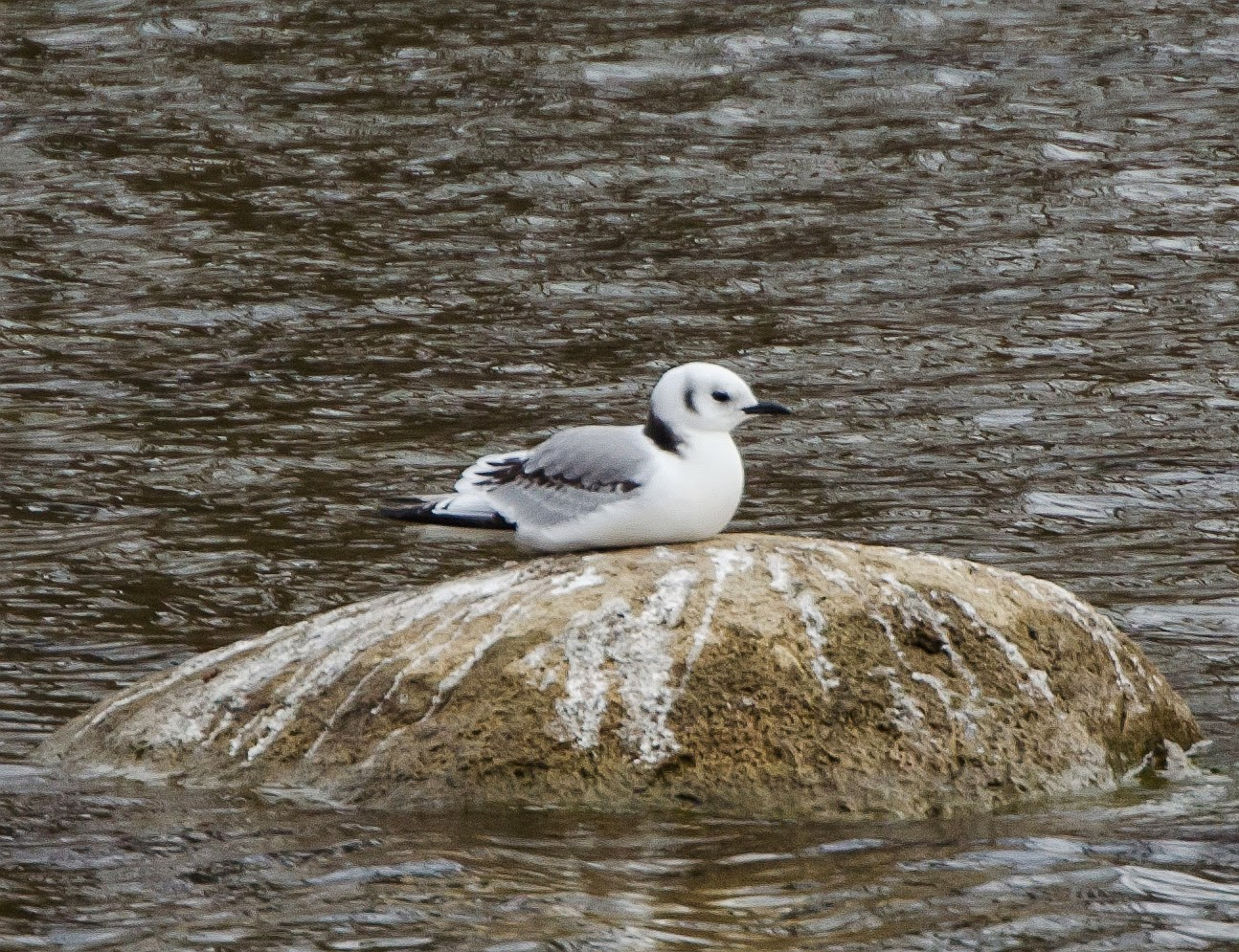 Black-Legged Kittiwake Ohio
