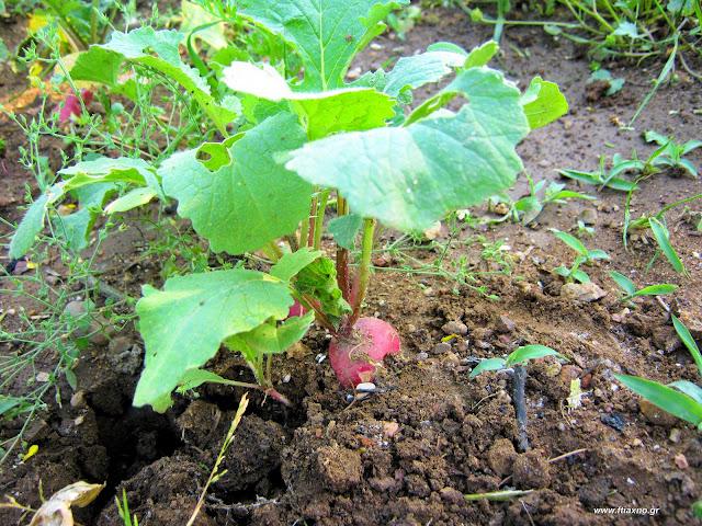 Ραπανάκια-καλλιέργεια