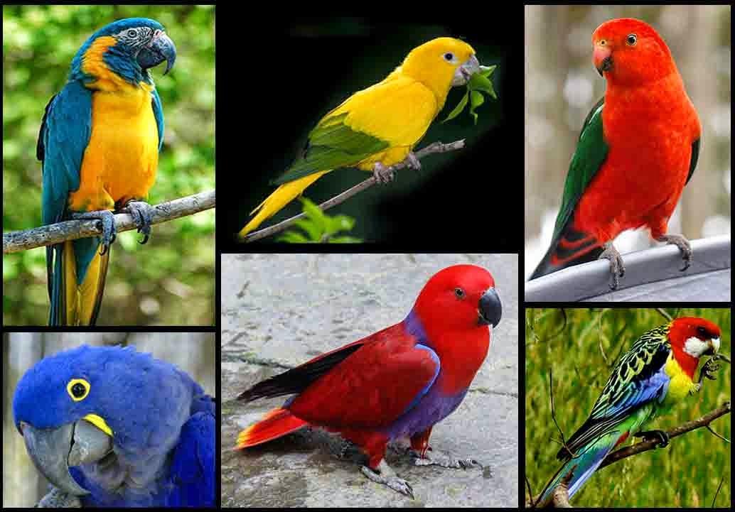 Kumpulan Foto Burung Betet Jantan Foto Burung Kicau