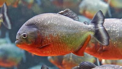 Bentuk Fisik Red Bellied Piranha