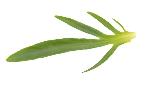 Flower_Leaf_3.png