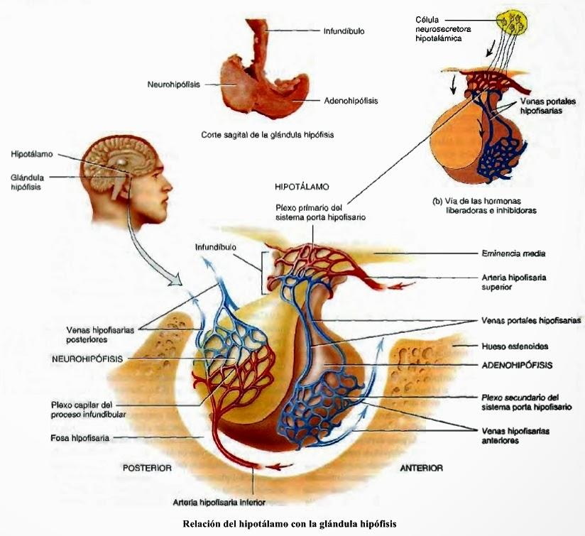 Hipotálamo, hipófisis - Sistema endocrino