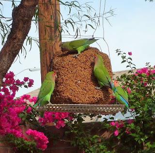 Jenis Lovebrid - Lovebrid Muka Selam (Agapornis Raseicollis) - Penangkaran Burung Lovebrid
