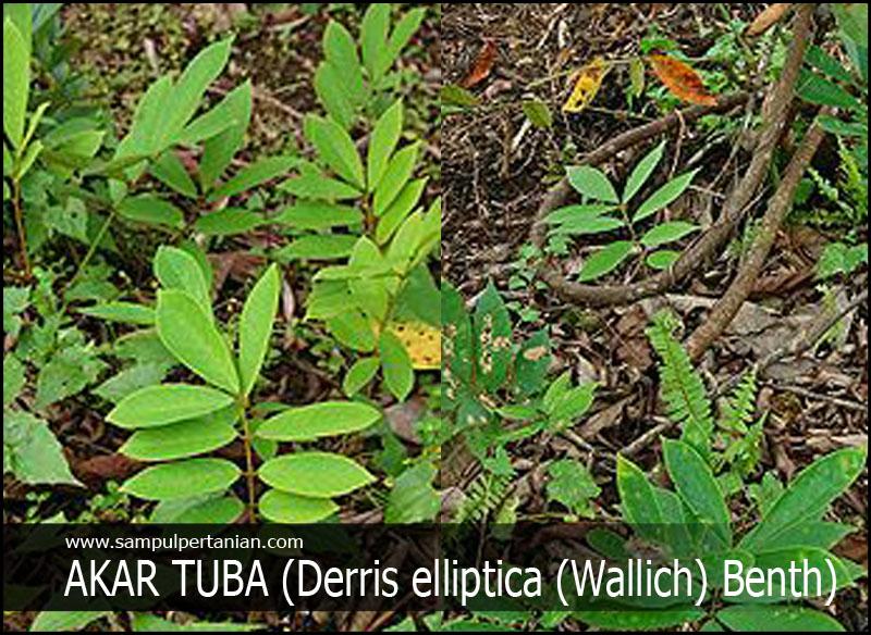 Pestisida Nabati Dari Bahan Akar Tuba Derris Elliptica Wallich Benth