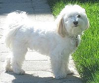 White Havanese Breed Dog
