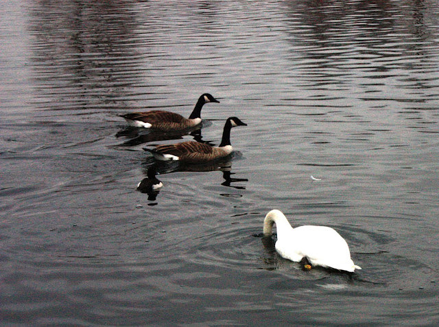 A swan dipping for food with 2 Canada geese and a smaller bird swimming past.