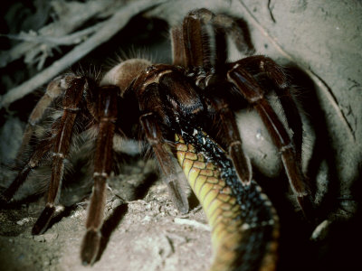 snake eaten by a tarantula