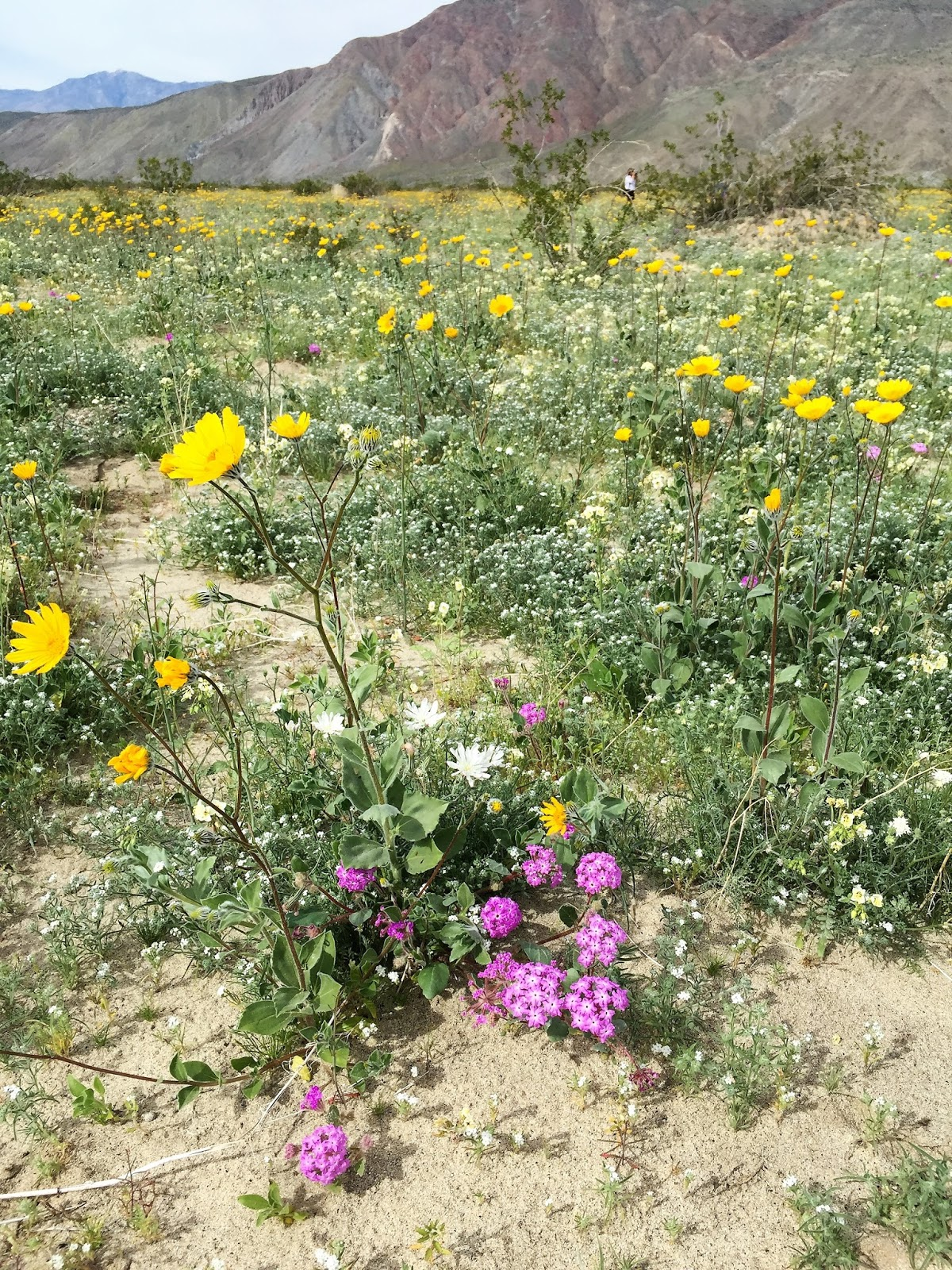 Life Is A Highway Amazing Wildflowers In Anza Borrego