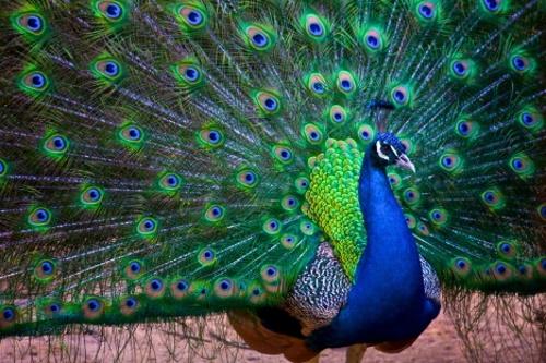 Pavão azul. #PraCegoVer