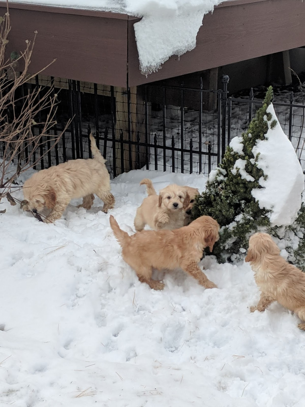 B & C Kennels: Mini Golden Doodles ready for their new homes!!!